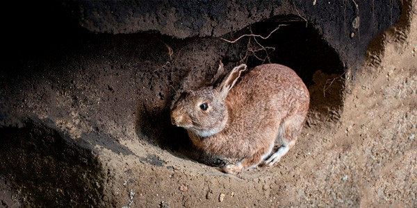Daños causados por conejos en España