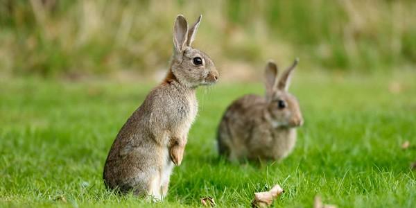 Plaga de conejos en España