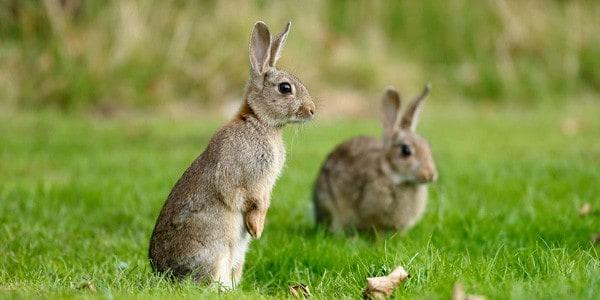 Como controlar plaga conejos