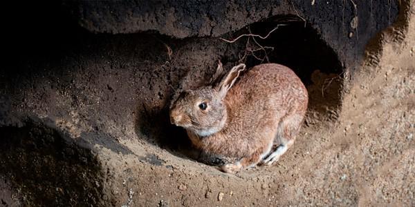Cómo controlar la plaga de conejos
